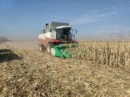 Wheat, corn